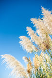 Pampas grass seed head. against blue sky. Pampas grass lime- green seed head against blue sky royalty free stock images