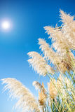 Pampas grass seed head. against blue sky. Pampas grass lime-green seed head against blue sky with lens flare royalty free stock images
