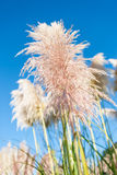 Pampas grass seed head. against blue sky. Pampas grass with pink tone seed head against blue sky royalty free stock photos