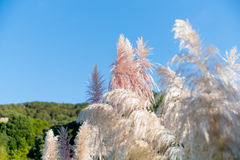 Pampas grass seed head. against blue sky. Pampas grass shallow depth of field focus on pink tone seed head against blue sky royalty free stock image