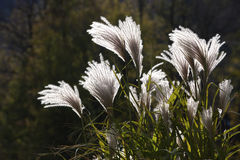Pampas grass. Sun white wind Royalty Free Stock Images