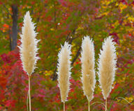 Pampas Grass. Sunlit pampas grass with autumn trees in the background Stock Photos