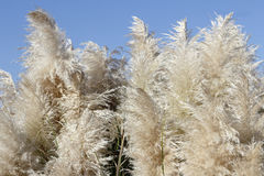 Pampas Grass with a Sunny Blue Sky. Tall Pampas Grass beige foliage plumes on a sunny blue sky day. Background of fluffy and beautiful beige pampas grass plants stock image