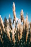 Grass in the Wind. Pampas grass in the sunny wind Stock Photo