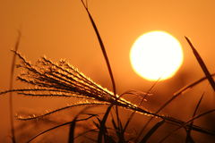 Pampas grass and sunset Stock Photos
