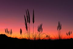 Pampas grass at sunset. Pampas grass at the sunset royalty free stock images