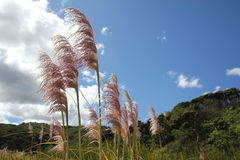 Pampas Grass swaying in the wind Stock Photo