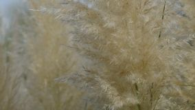 Pampas Grass stock video