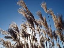 Pampas grass Royalty Free Stock Image