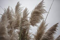 Free Pampas Grass Top Detail Stock Photo - 161949320