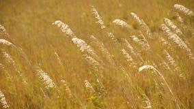 Pampas Grass Waving among the Golden Evening Stock Photo