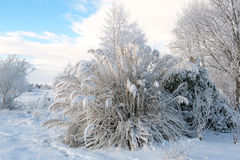Pampas grass in the winter royalty free stock image