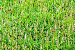 Pampas and green grass background Royalty Free Stock Images