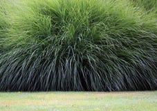 Pampas gräs Arkivbild