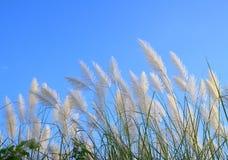 Pampas gräs eller Cortaderiaselloana Arkivfoto