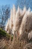 Pampas herbs in a garden Royalty Free Stock Photography