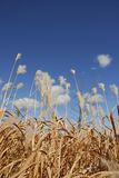 Pampas & Sky. Wild Pampas Grass against a blue sky royalty free stock photo