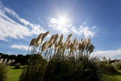 Pampas SusukiJapanese χλόη, sinensis Miscanthus που φυσά στο αεράκι την ηλιόλουστη ημέρα με το υπόβαθρο μπλε ουρανού Στοκ Εικόνες