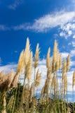 Pampas SusukiJapanese χλόη, sinensis Miscanthus που φυσά στο αεράκι την ηλιόλουστη ημέρα με το υπόβαθρο μπλε ουρανού Στοκ φωτογραφία με δικαίωμα ελεύθερης χρήσης
