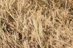 Pampasgräs Fotografering för Bildbyråer