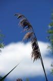 Pampasgräs Arkivbild