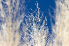 Pampasgräs Arkivfoton