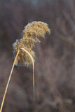 Pampasgräs med vinterrimfrost Arkivfoton