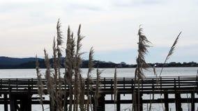 Pampasgräs som blåser i vind i Front Of Dock And Bay stock video