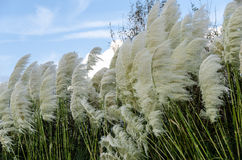 Pampasgräs som blåser i vinden Royaltyfri Foto
