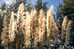 Pampasgras, das durch den Wind durchgebrannt wird lizenzfreies stockfoto