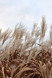 Pampasgras im Himmel durchgebrannt durch Wind Lizenzfreie Stockbilder