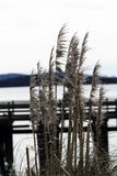 Pampasgras mit Dock und Bucht im Hintergrund Stockfotografie