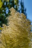 Pampasgrasgruppe, die im Sommersonnenlicht blüht lizenzfreie stockfotografie