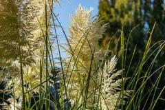 Pampasgraszierpflanzeblühen lizenzfreie stockfotos