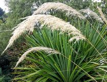 Pampasormbunksbladvind som blåsas mot palmlilja Arkivfoton