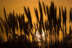 pampass травы Стоковые Изображения RF