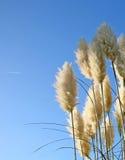 Pampass grass Royalty Free Stock Image