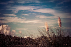 Pampass Grass Blowing In Wind. With cloud and sky background royalty free stock image