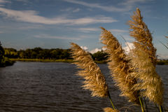 Pampas grass blowing in wind. A tuft of pampas grass blowing in the grass with a body of water on the background royalty free stock image