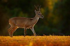 Pampasy rogacz, Ozotoceros bezoarticus, siedzi w zielonej trawie, Pantanal, Brazylia Przyrody scena od natury Rogacz, natury habi Obraz Stock