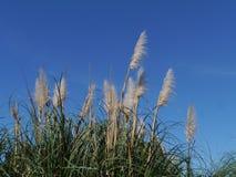 Pampasy trawa naprzeciw niebieskiego nieba zdjęcie royalty free