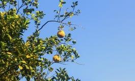 Pampelmuse auf dem Baum lizenzfreie stockfotografie