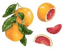Pampelmuse eingestellt mit Früchten auf der Niederlassung und Scheiben in realistischem lizenzfreie abbildung