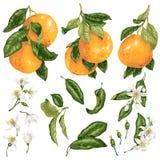 Pampelmuse eingestellt in Vektor mit Früchten auf Niederlassungen, Blätter und Blumen und Knospen in der grafischen Illustration vektor abbildung