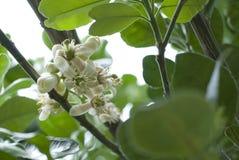 Pampelmuse, Pampelmusen-Blumen Stockfotos