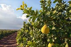 Pampelmusenfrucht auf dem Baum Stockbild
