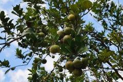 Pampelmusenfrucht in Bohol Lizenzfreies Stockfoto