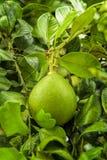 Pampelmusenfruchtfall auf dem Baum im Garten Lizenzfreies Stockfoto
