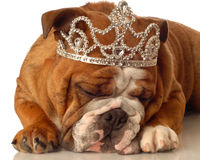 Pampered bull dog. English bulldog wearing princess crown and silly expression Stock Images