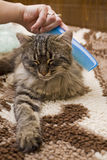 Pampered cat. A woman is combing a cat Stock Image